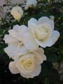 free photo gallery - flower rose