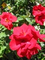 free digital photo red roses