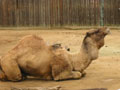 free photo gallery - animal camel